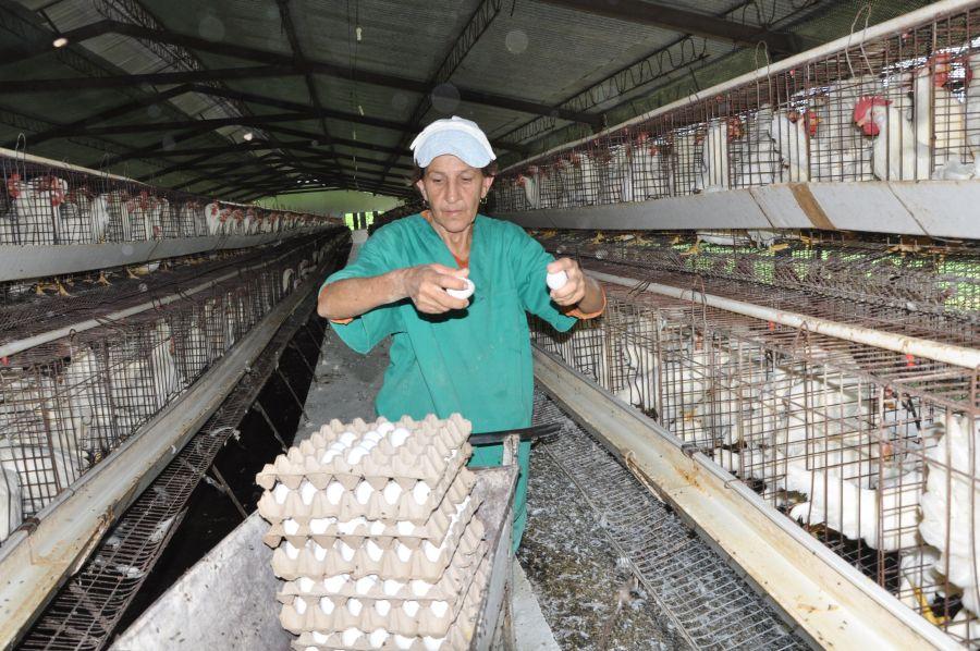 sancti spiritus, avicultura
