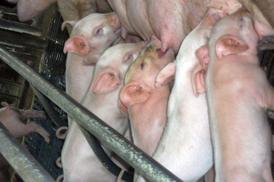 sancti spiritus, porcino, ganaderia, empresa porcina