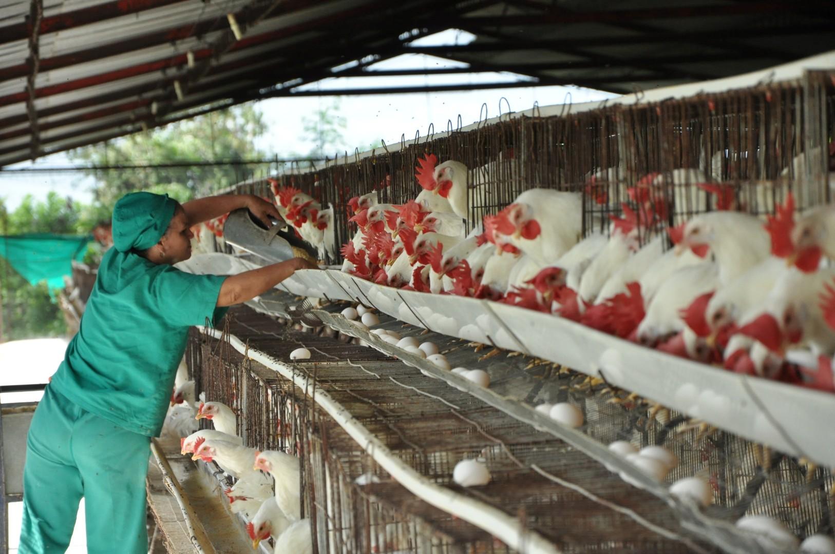sancti spirtitus, avicultura