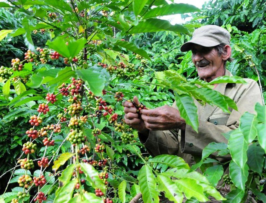 sancti spiritus, cafe, cosecha cafetalera, cafe robusta