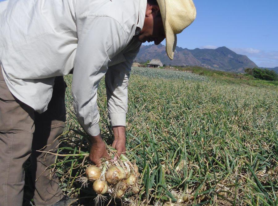 El campesino Jelwis  Quincoses González se propone enviar a la industria 13 toneladas de cebolla. (Foto: José L. Camellón)