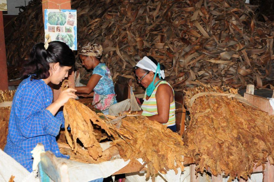 La escogida de tabaco Jíquima constituye fuente de empleo para una parte de la fuerza femenina.