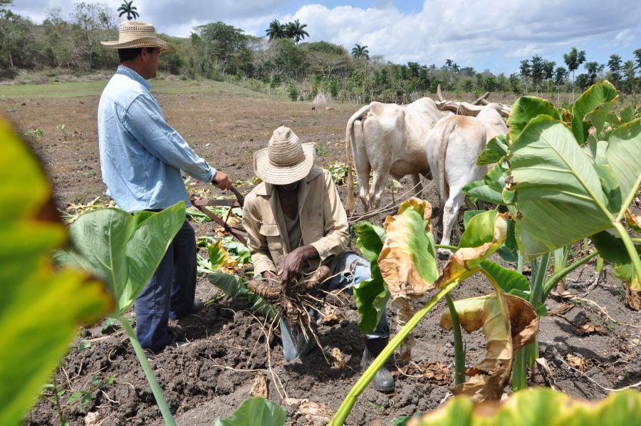 sancti spiritus, produccion de alimentos, agricultura, acopio