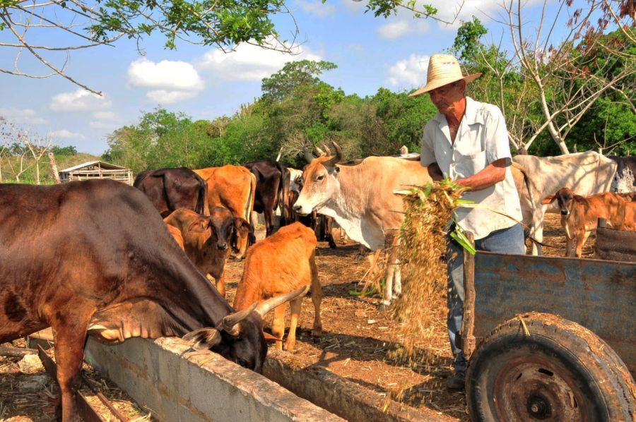 sancti spiritus, produccion de alimentos, campesinos, dia del campesino, yaguajay, ganaderia