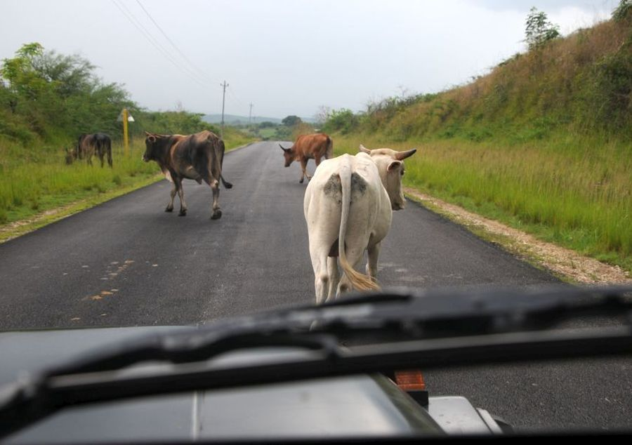 sancti spiritus, accidentes de transito, animales en la via, transito, ministerio de la agricultura