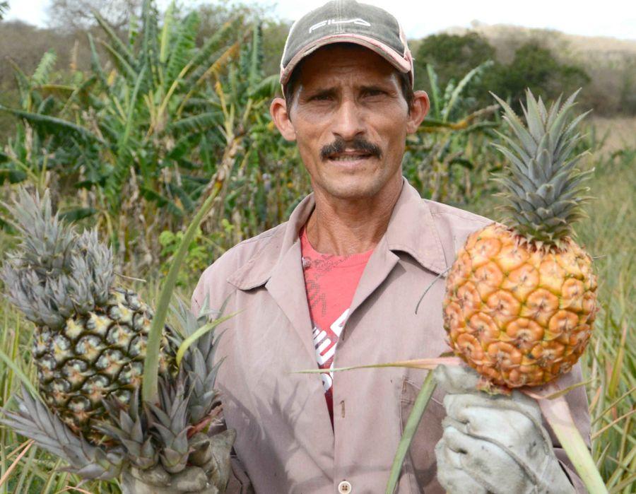 sancti spiritus, cultivo de la piña, cooperativa de creditos y servicio, ccs
