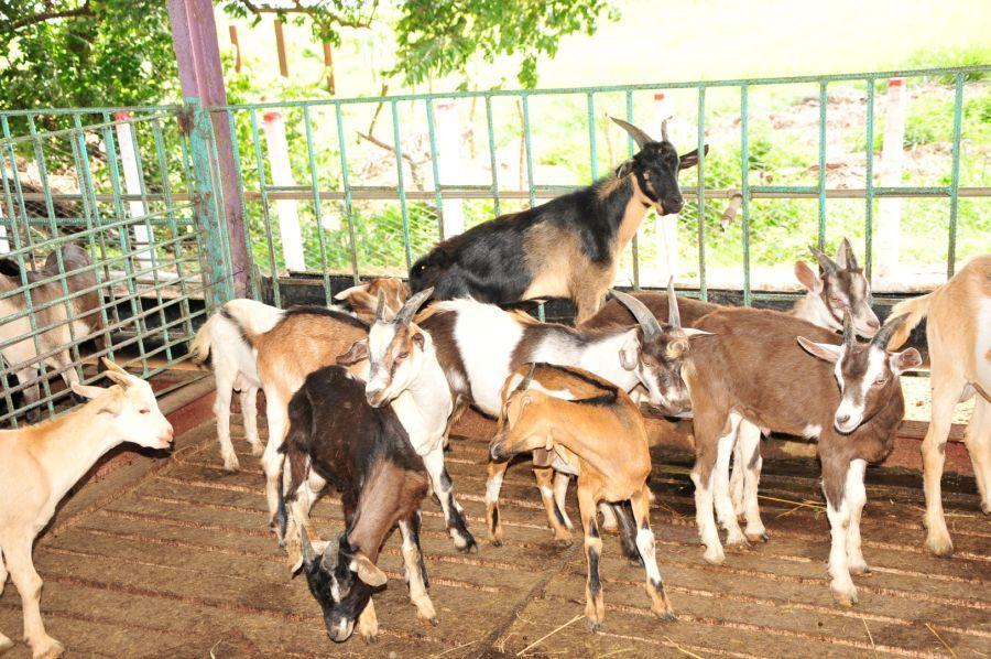 sancti spiritus, la sierpe, 26 de julio, asalto al cuartel moncada, cabras, leche de cabra