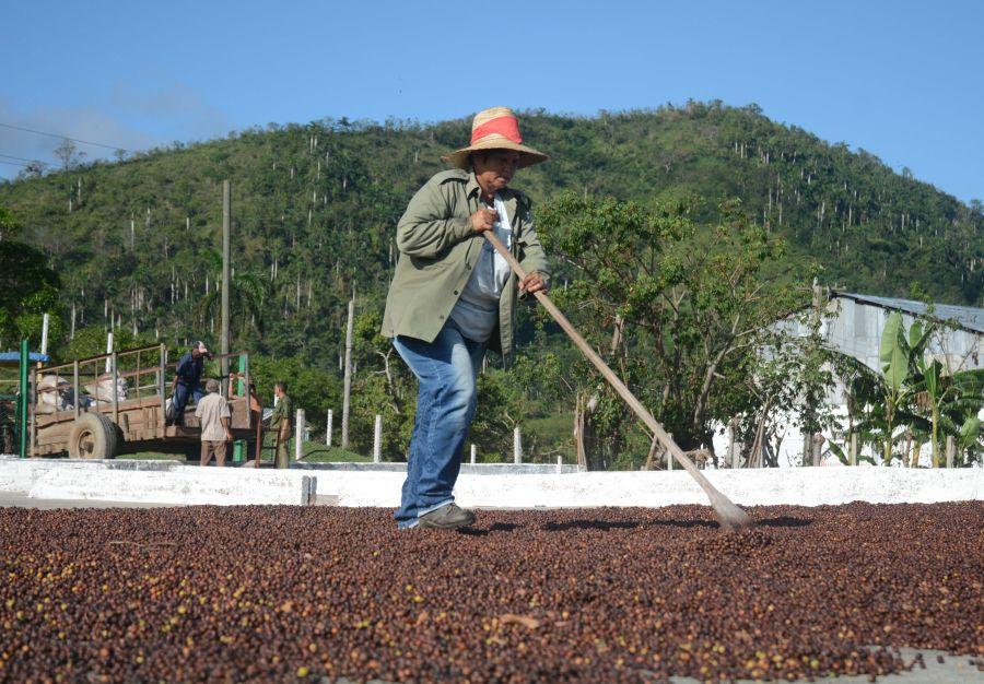 sancti spiritus, fomento, cafe, huracan irma, cosecha cafetalera, trinidad