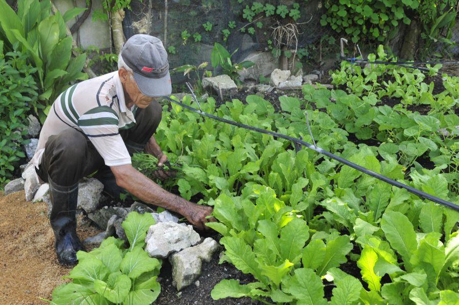sancti spiritus, agricultura urbana, huracan irma, organoponicos,