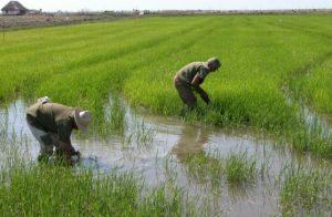 arroz, presa Zaza, Sur del Jíbaro