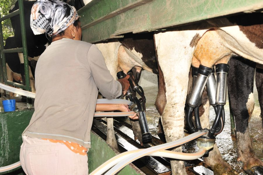 ganadería, Sancti Spíritus, leche, ordeño mecanizado