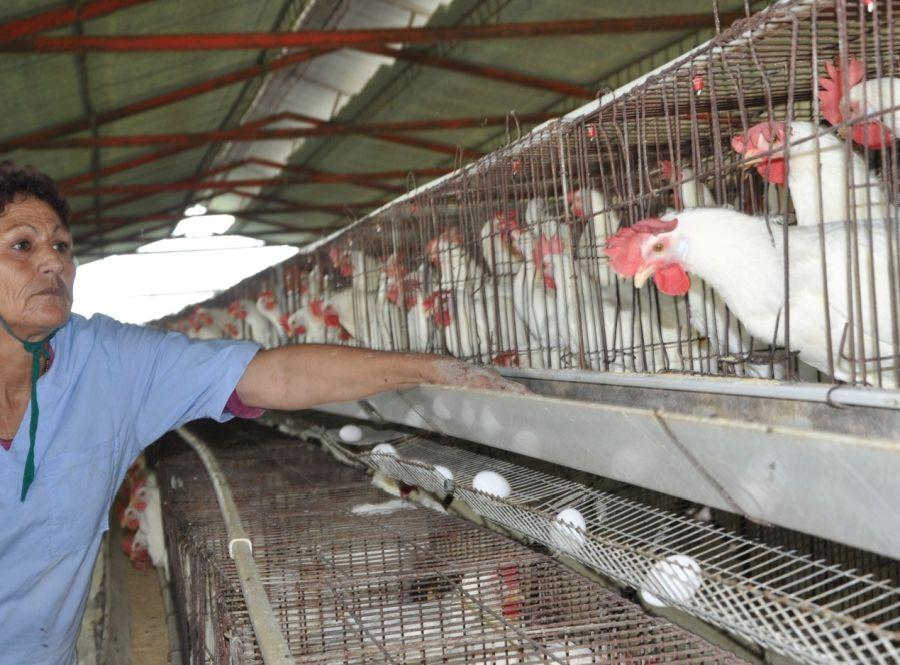 sancti spiritus, produccion de huevos, avicultura, huracan irma