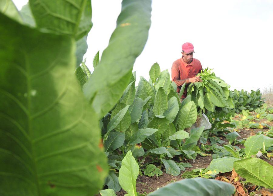 sancti spiritus, tabaco, taguasco, cosecha tabacalera