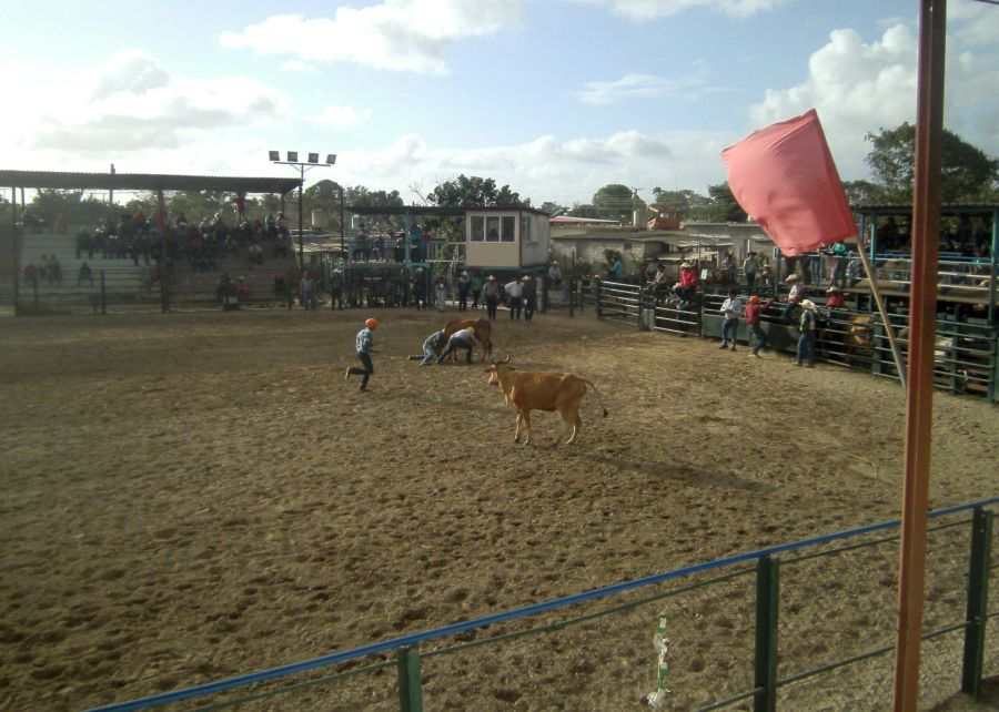 Tres parejas de cada equipo se enfrentan a las vacas para efectuar el ordeño en pista. (Foto: Xiomara Alsina/ Escambray)