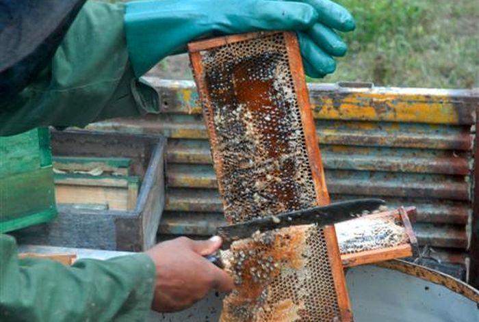 sancti spiritus, apicultura, produccion de mile, huracan irma