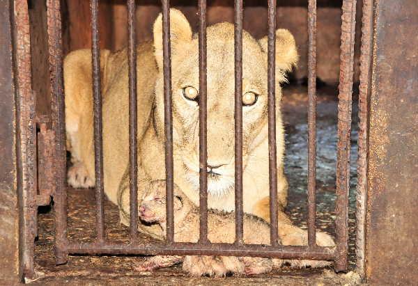 sancti spiritus, zoologico, zoologico espirituano, leon