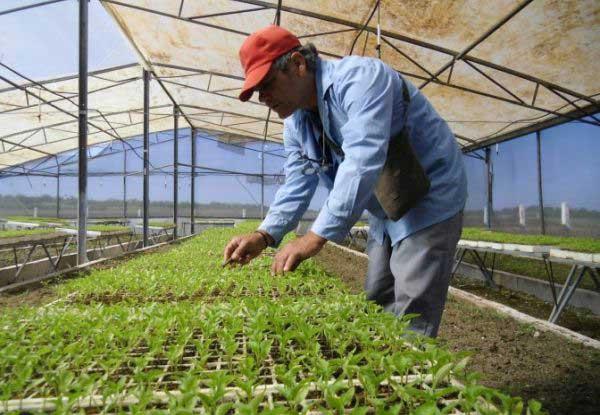 Valle del caonao, Yaguajay, agricultura