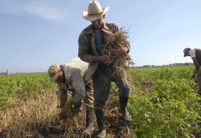 agricultura, sancti spíritus, yaguajay
