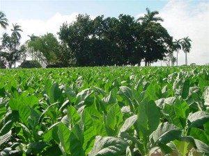Campesinos, tabaco, ANAP, 17 de mayo