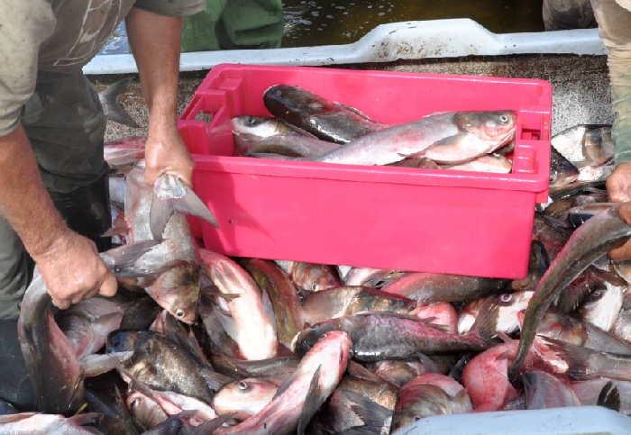 sancti spiritus, acuicultura, empresa pesquera de sancti spiritus, presa zaza