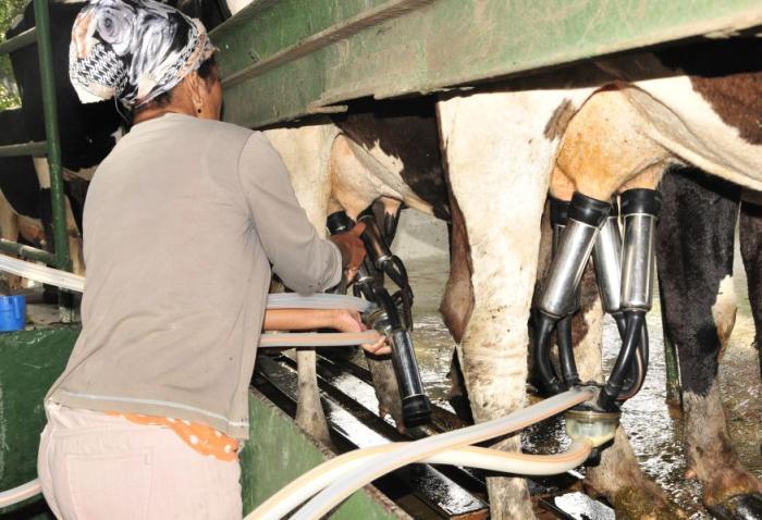 sancti spiritus, ganaderia, produccion de leche, ordeño mecanizado
