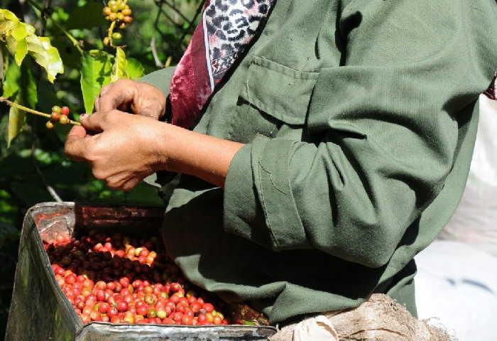 sancti spiriyus, cosecha cafetalera, cafe, fomento, trinidad