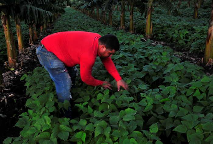 sancti spiritus, agricultura, produccion de alimentos, tabaco tapado, cabaiguan