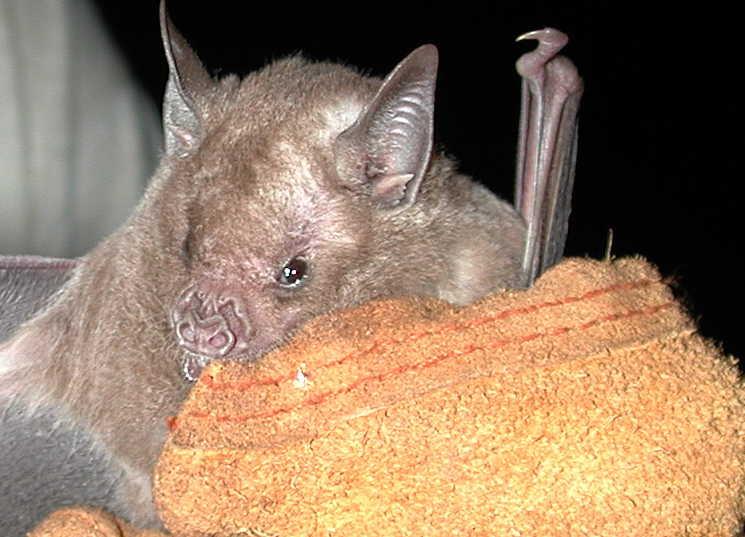 Hallan especies raras de murciélago en región central cubana (+Fotos)