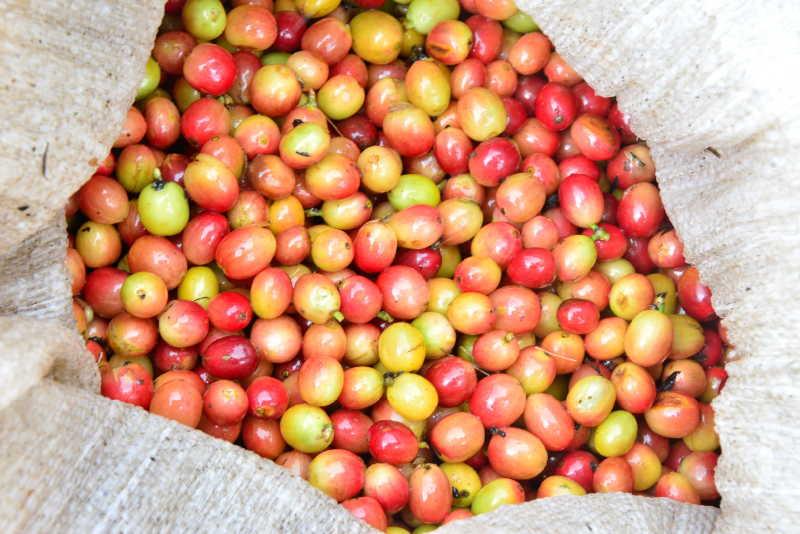 sancti spiritus, cafe, fomento, cosecha cafetalera, despulpadora de cafe