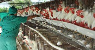 sancti spiritus, avicultura, huevos, canasta basica