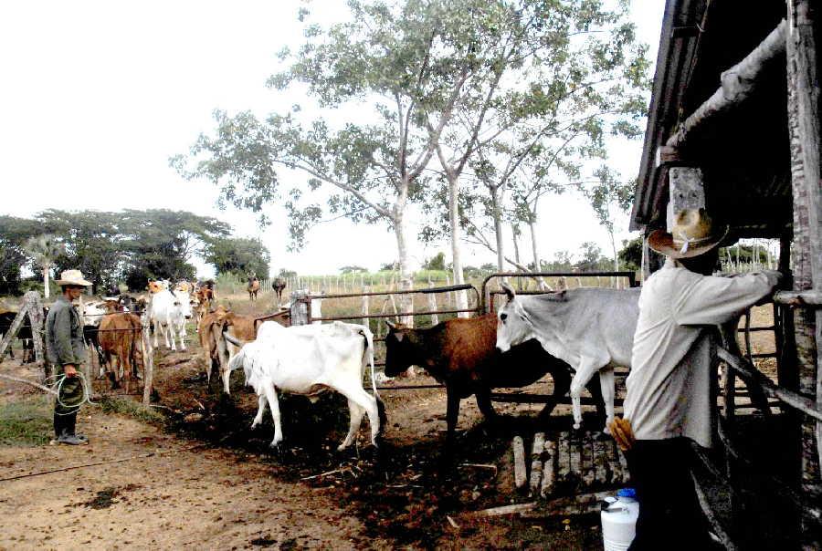 sancti spiritus, ganaderia, guasimal, produccion leche