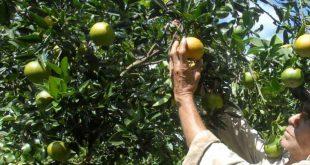 Frutales, Sancti Spíritus, agricultura