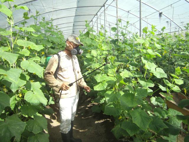 sancti spiritus, agricultura, vegerales, hortalizas
