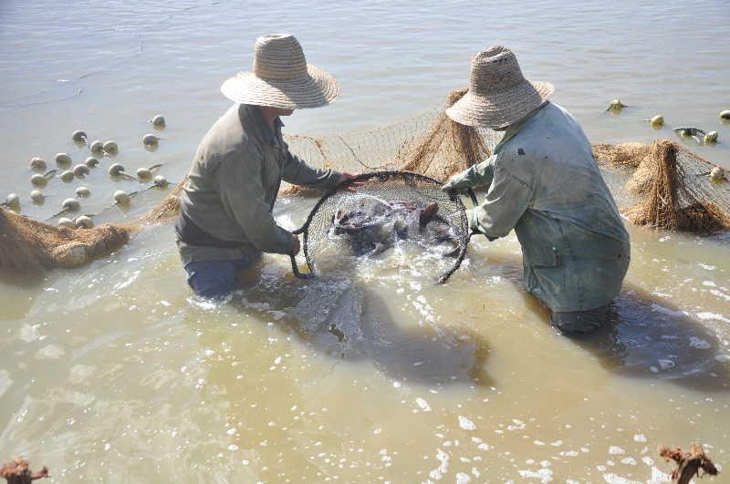 La cría intensiva de especies de agua dulce garantiza mayor cantidad de alimento. (Foto: Vicente Brito / Escambray)
