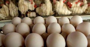 cuba, avicultura, produccion de huevos, ministerio de la agricultura, minag