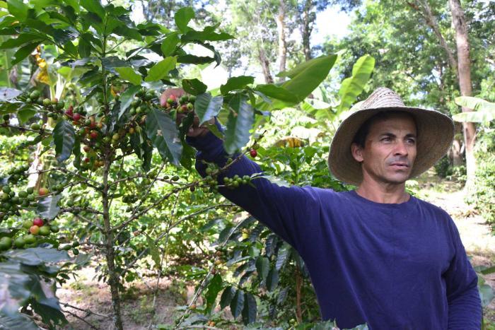 fomento, fomento en 26, cafe, cosecha cafetalera