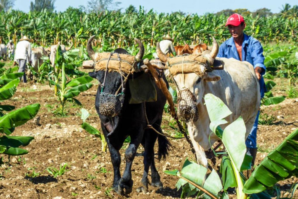El empleo de la tracción animal en la agricultura resulta una de las medidas llamadas a desempolvar.