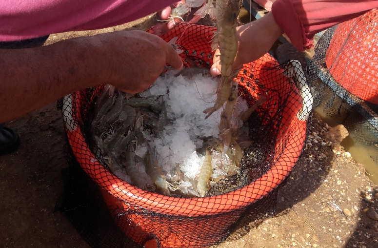 sancti spiritus, cultizaza, camarones, tunas de zaza, inversion extranjera