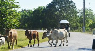 sancti spiritus, animales sueltos en la via, accidentes