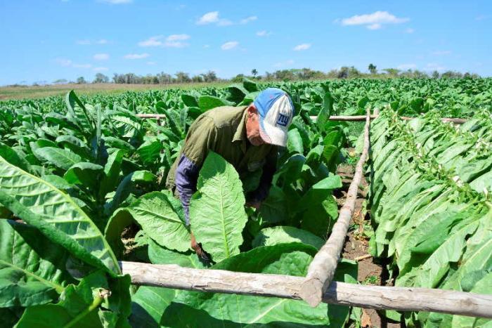 sancti spiritus, tabaco, cosecha tabacalera, empresa de acopio y beneficio del tabaco, exportaciones, economia cubana