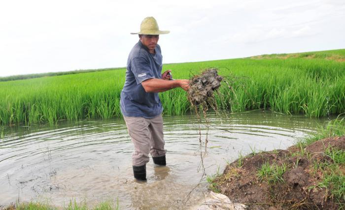 Los bajos niveles de agua de la presa Zaza afectarán la producción  de arroz en Sur del Jíbaro. (Foto: Vicente Brito / Escambray)