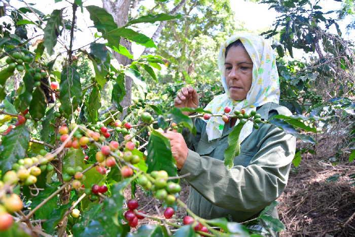 sancti spiritus, cafe, cosecha cafetalera, economia espirituana