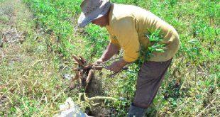 sancti spiritus, economia espirituana, agricultura, produccion de alimentos, produccion agropecuaria, buro provincial del pcc