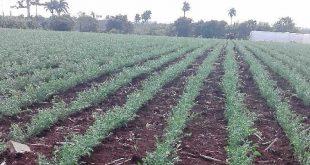 taguasco, garbanzo, empresa de semillas, produccion de granos