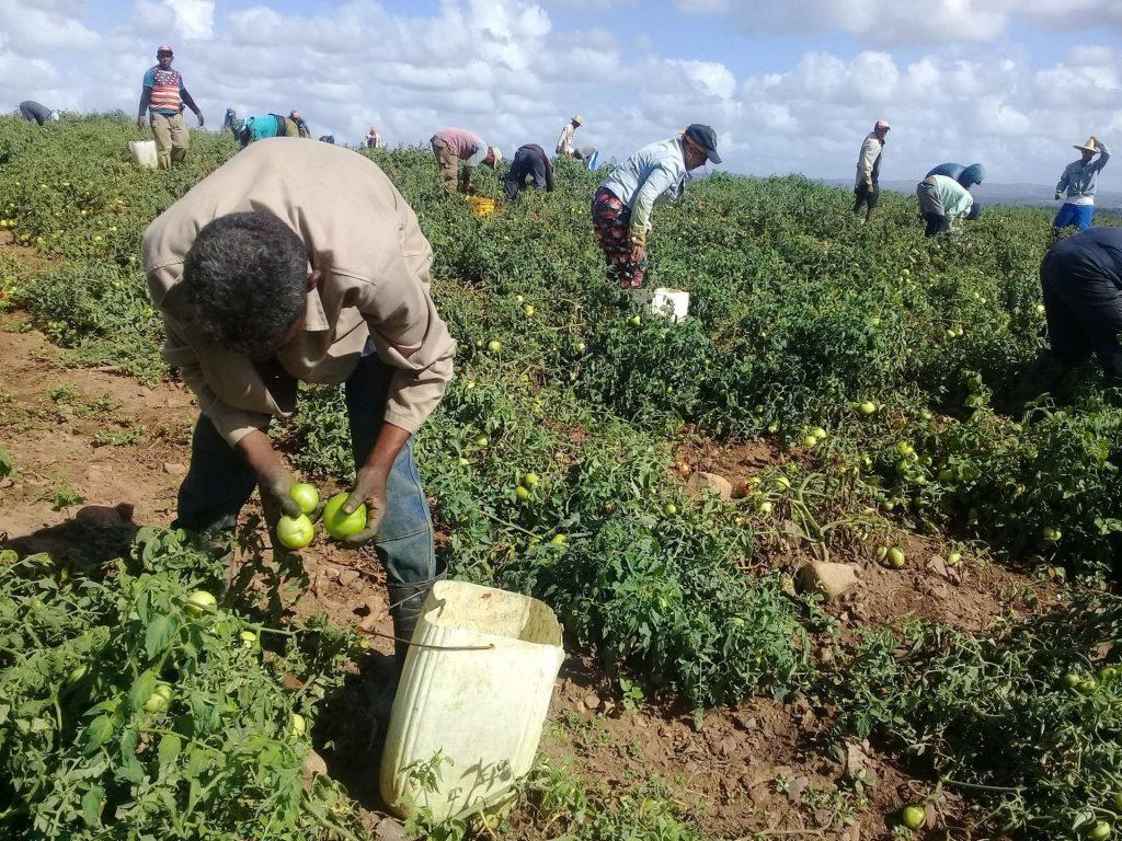 La necesidad de incrementar la producción agropecuaria en medio de una adversa coyuntura económica, resultará tema priorizado en el debate. (Fotio: José Luis Camellón / Escambray)
