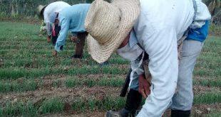 sancti spiritus, agricultura, banao, produccion de alimentos, coronavirus, covid-19