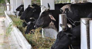 sancti spiritus, venegas, ganaderia, produccion lechera, alimentacion