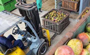 El procesamiento del mango acontece en medio de medidas dirigidas a protegeer a los trabajadores en tiempos de Covid-19.