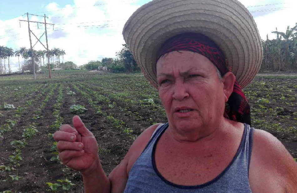 sancti spiritus, produccion de alimentos, covid-19, coronavirus, heroina del trabajo de la republica de cuba