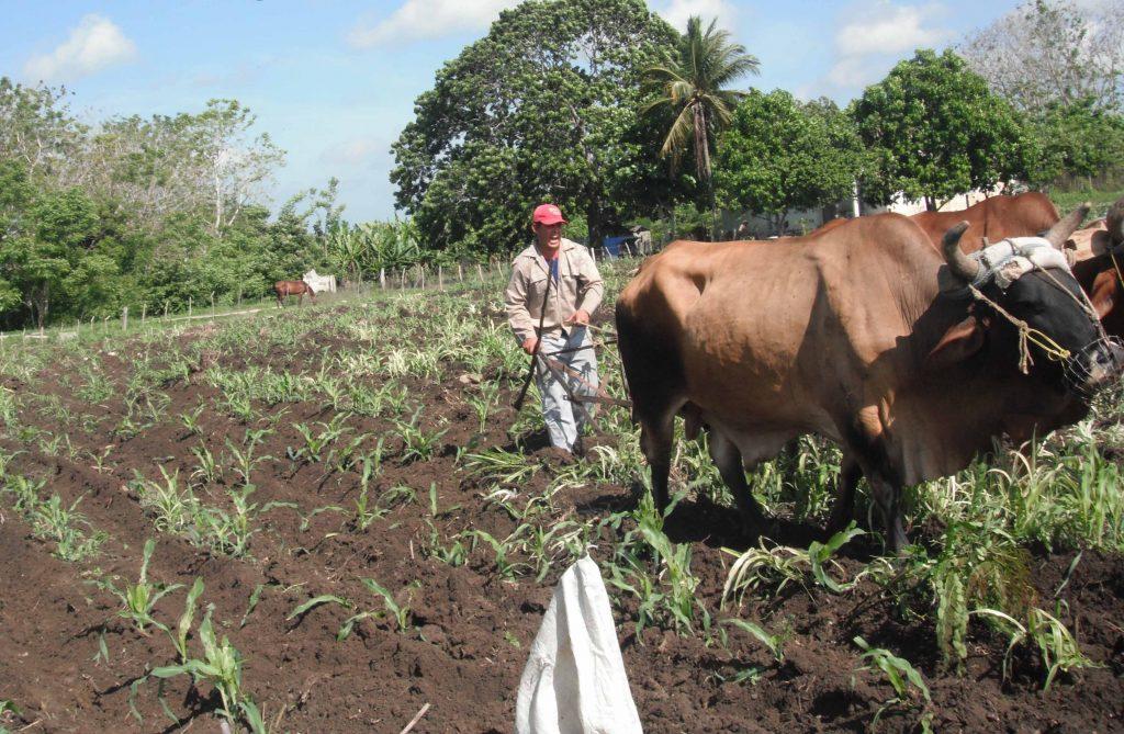 El empleo de la tracción animal resulta una de las alternativas a aplicar en busca de mayores producciones. (Foto: Eduardo Sicilia)